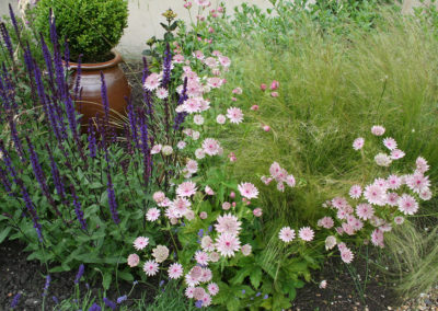 Salvia Caradonna on the left, Astrantia Buckland at the front with Stipa tenuissima