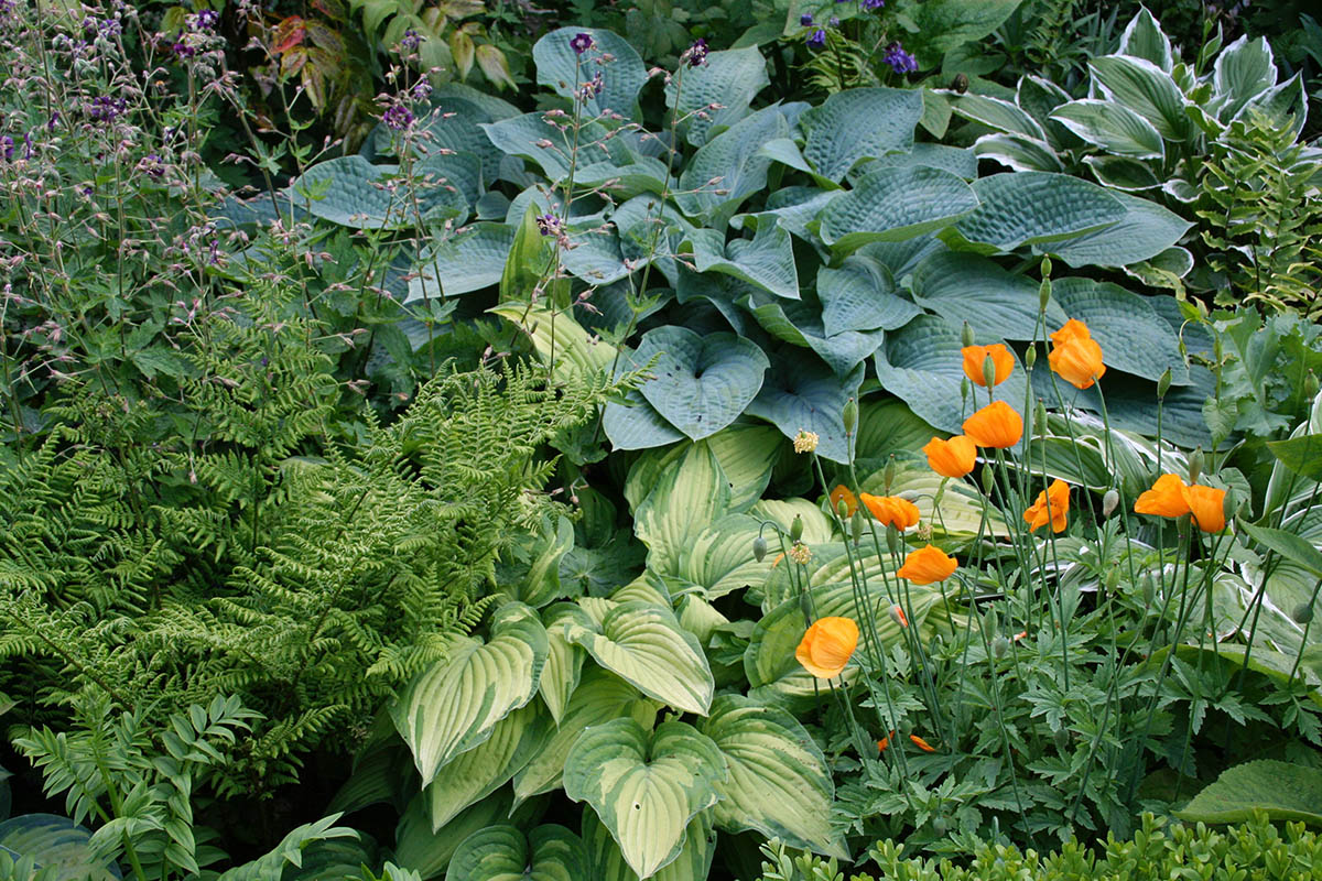 Planting in shade with Hostas, Ferns, Geranium and the orange Icelandic poppy