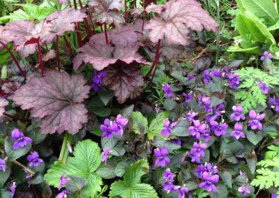 Viola corsica with Heuchera Palace Purple