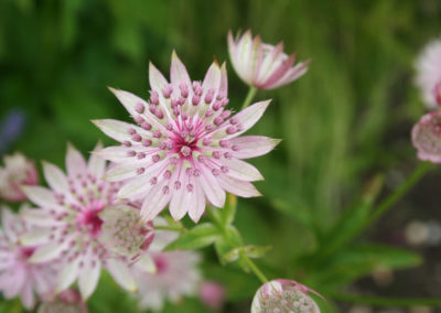 Pink flowers of the Astrantia Buckland