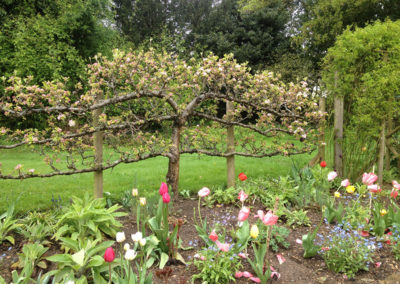 Traditionally Trained Espalier Apple Trees with Tulips