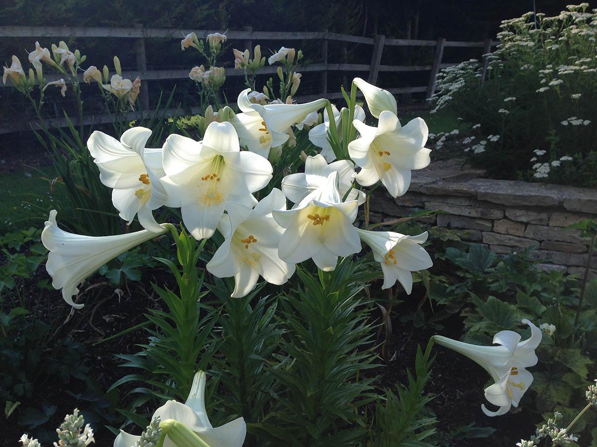 Scented Lilium Longiflorum