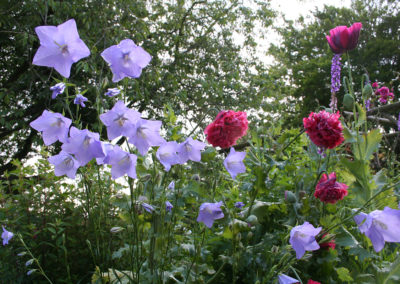 Campanula persicifolia with deep pink Double Opium Poppy