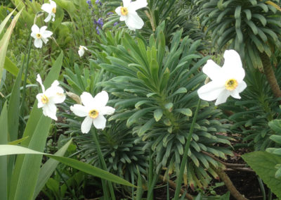 Narcissus Pheasant Eye with Euphorbia characias wulfenii
