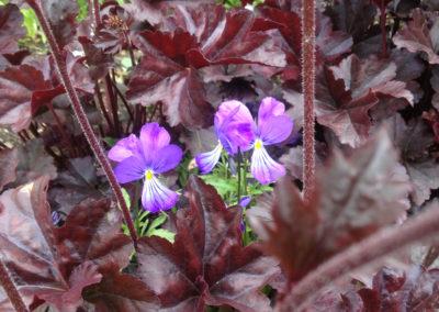 Heuchera Obsidian with a self-seeded wild violet
