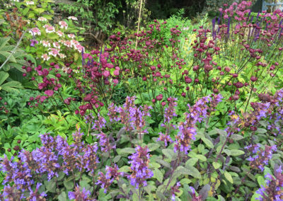 Salvia purpurea with Astrantia Hadspen Blood