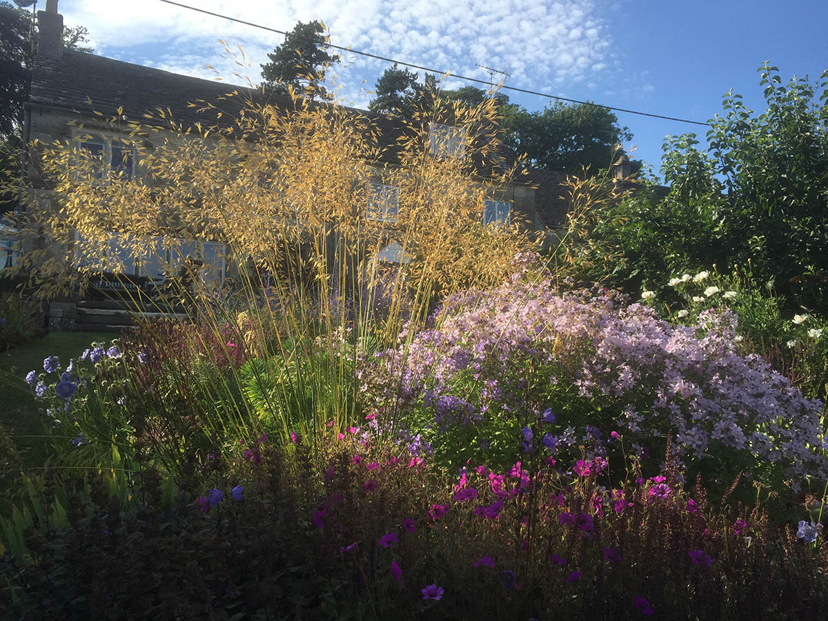 Evening sun coming through the Stipa gigantea, with Campanula lactiflora Pritchard's variety and Geranium psilostemon