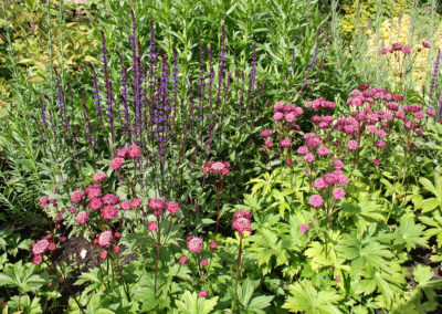 Astrantia Hadspen Blood with Salvia Caradonna