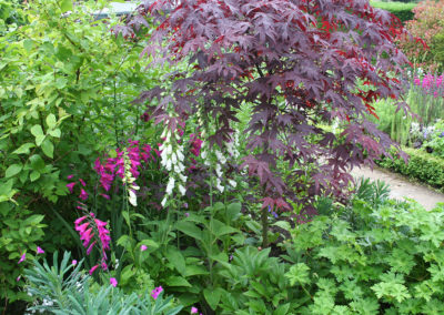 Acer palmatum Bloodgood with foxgloves and Gladiolus byzantinus