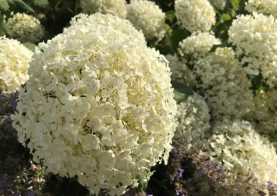 The bold heads of Hydrangea Annebel