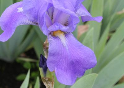 Iris pallida subsp. pallida