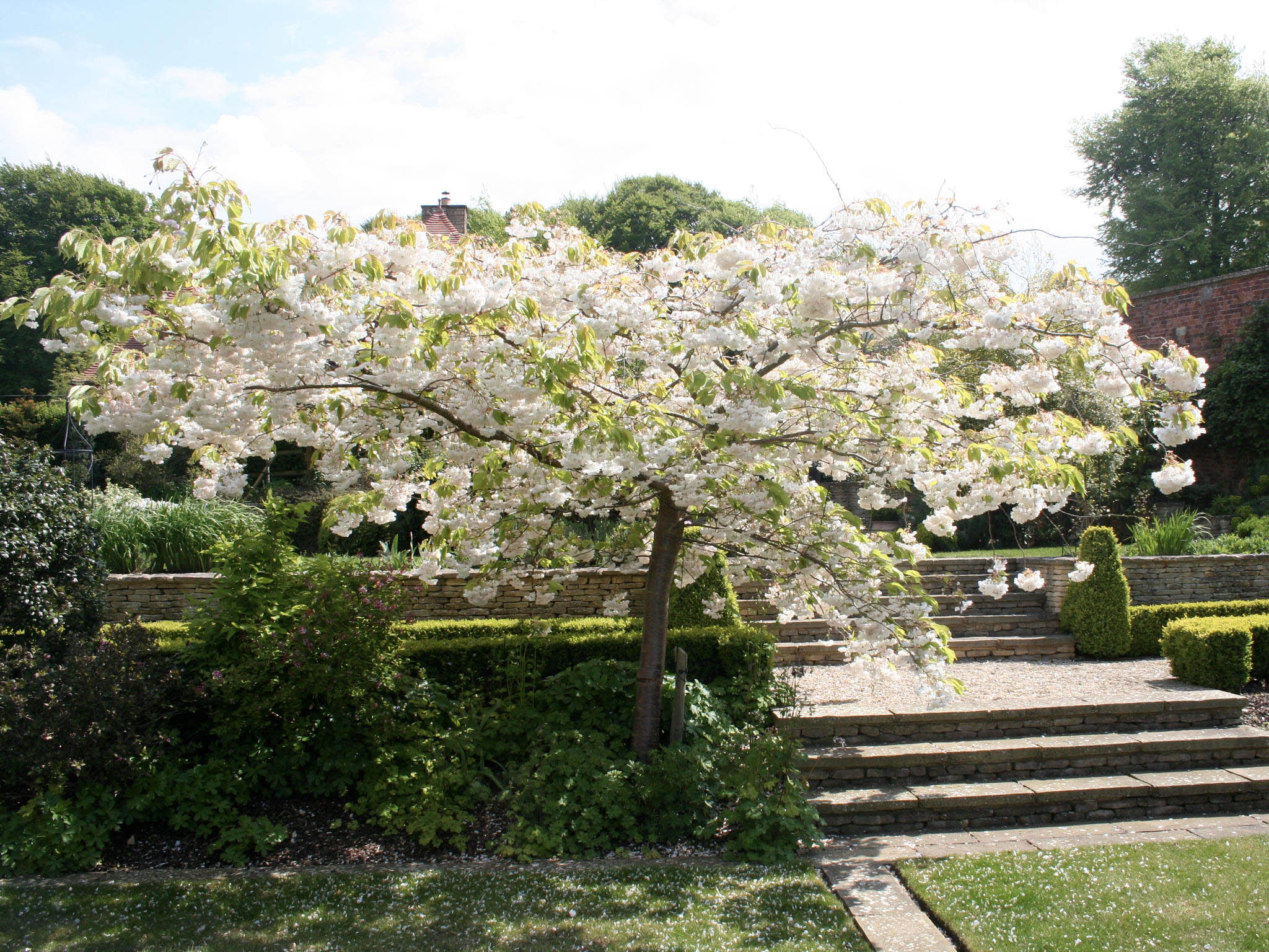 The arching cherry tree Prunus Shogetsu gracing the wide Cotswold Stone steps
